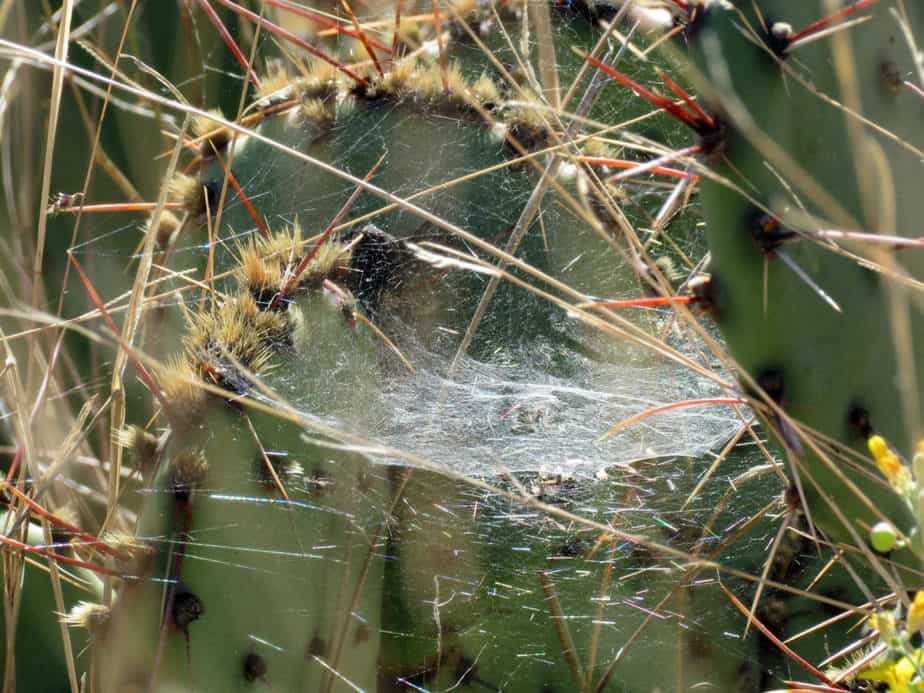 Frontinella Pyramitela - Bowl and Doily Spider web - dome-shaped with layer below