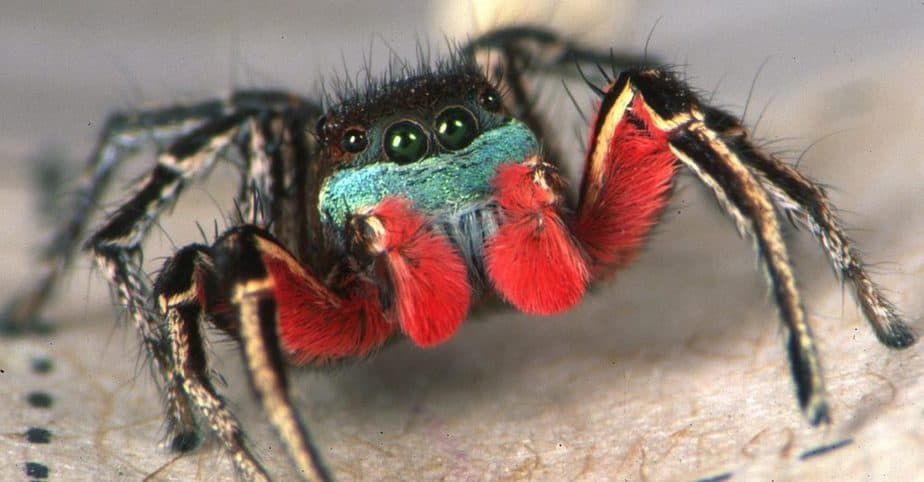 Habronattus americanus male Idaho red palps colored jumping spider USA
