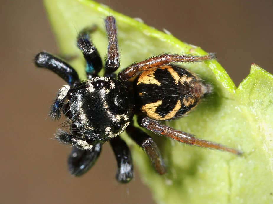 Jumping Spiders of America North of Mexico