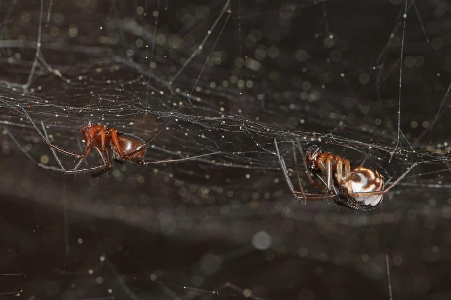 Male and female bowl and doily spider Frontinella pyramitela