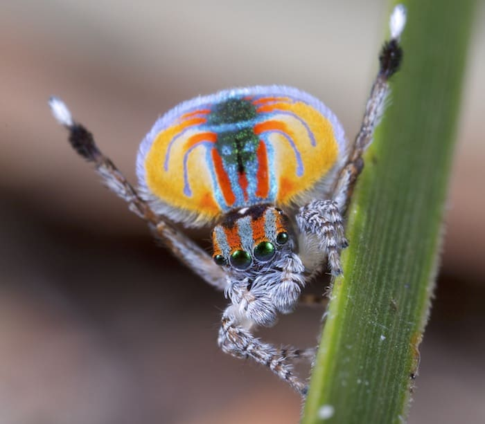 Male peacock spider most colorful spiders in the world