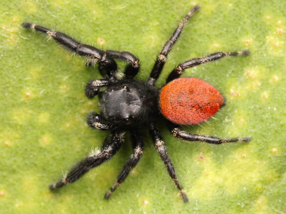 Male phidippus johnsoni red-backed jumping spider black with red abdomen