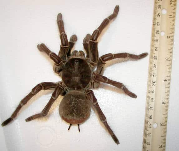 Male_goliath_birdeater heaviest spider in the world
