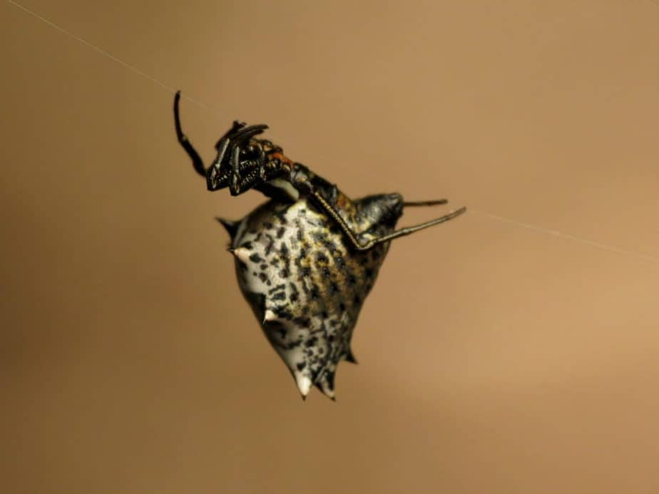 Micrathena gracilis – Spined Micrathena view from side black and white lines stripes