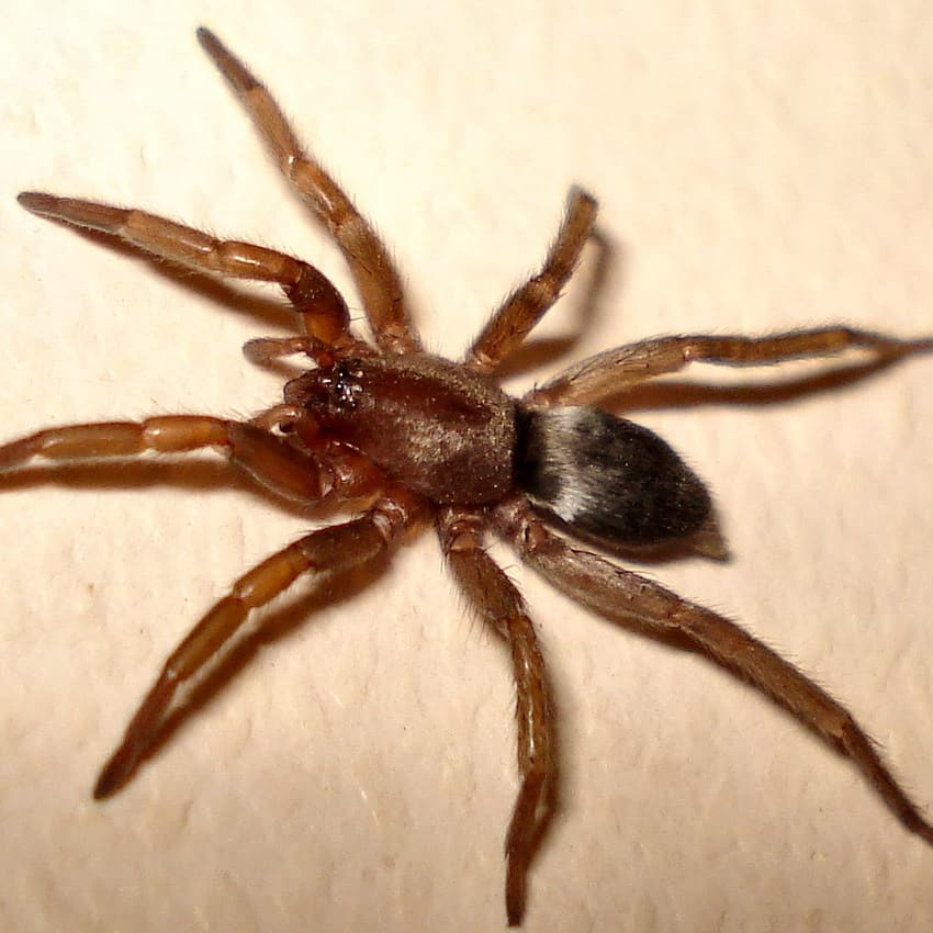 Scotophaeus Blackwalli – Mouse Spider