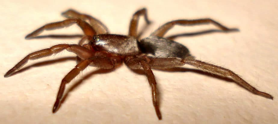 Scotophaeus Blackwalli Mouse Spider in Washington State moving
