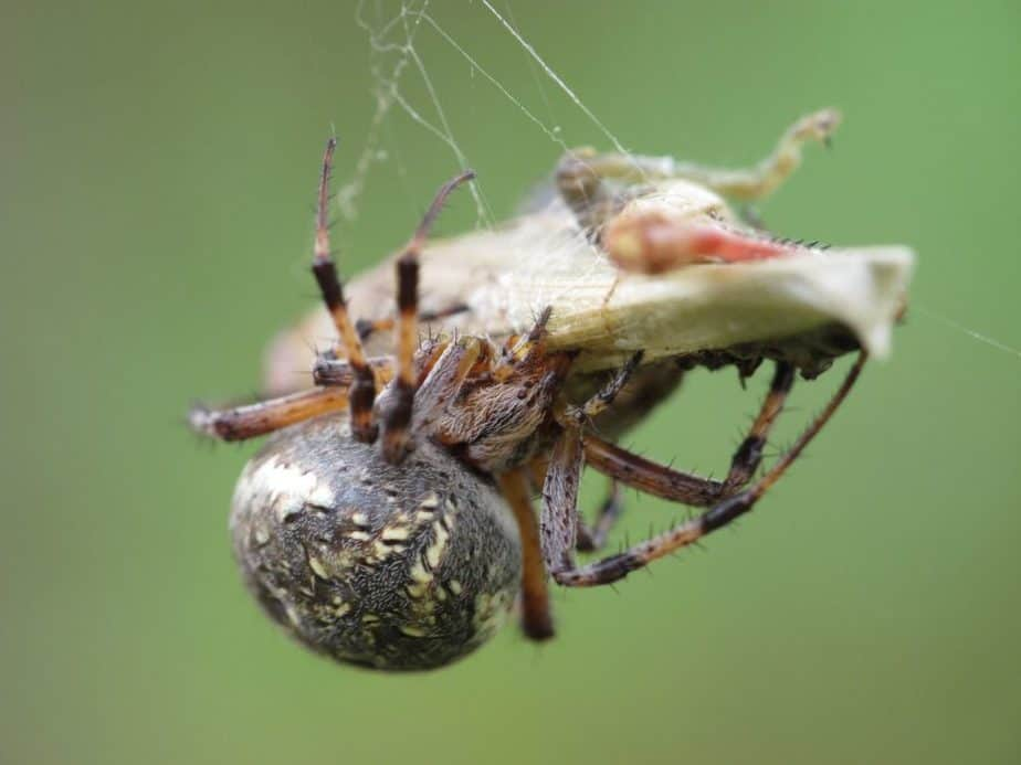 Western Spotted Orb Weaver – Neoscona Oaxacensis in california with prey