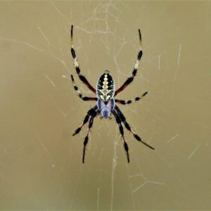Western Spotted Orb Weaver – Neoscona Oaxacensis information