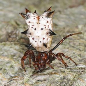 White spider with black spines brown legs is a Micrathena gracilis – Spined Micrathena found in Georgia United States