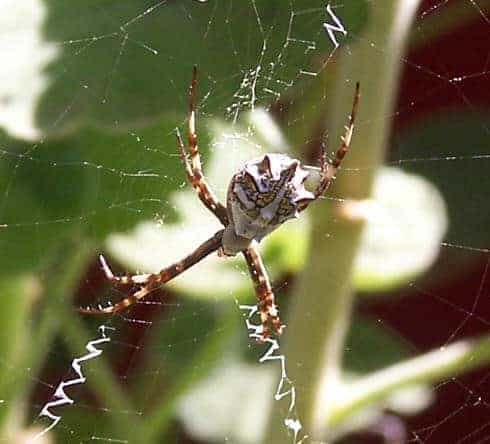 female Silver argiope in web with stabilimenta