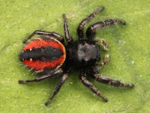 female red-backed jumping spider phidippus johnsoni black spider with short legs and red back