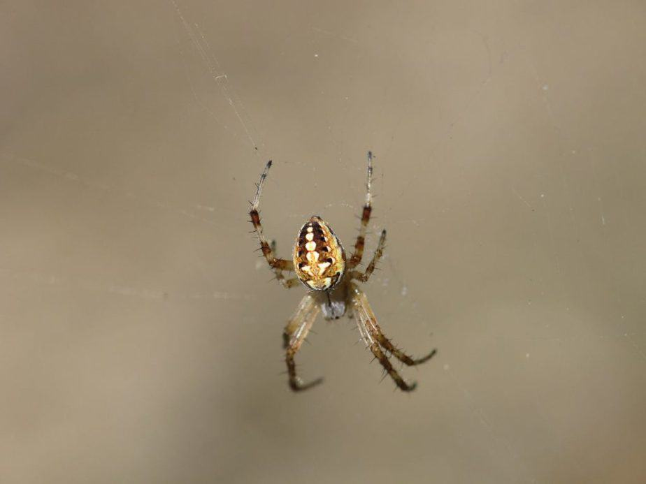 juvenile western spotted orb weaver in california orchard