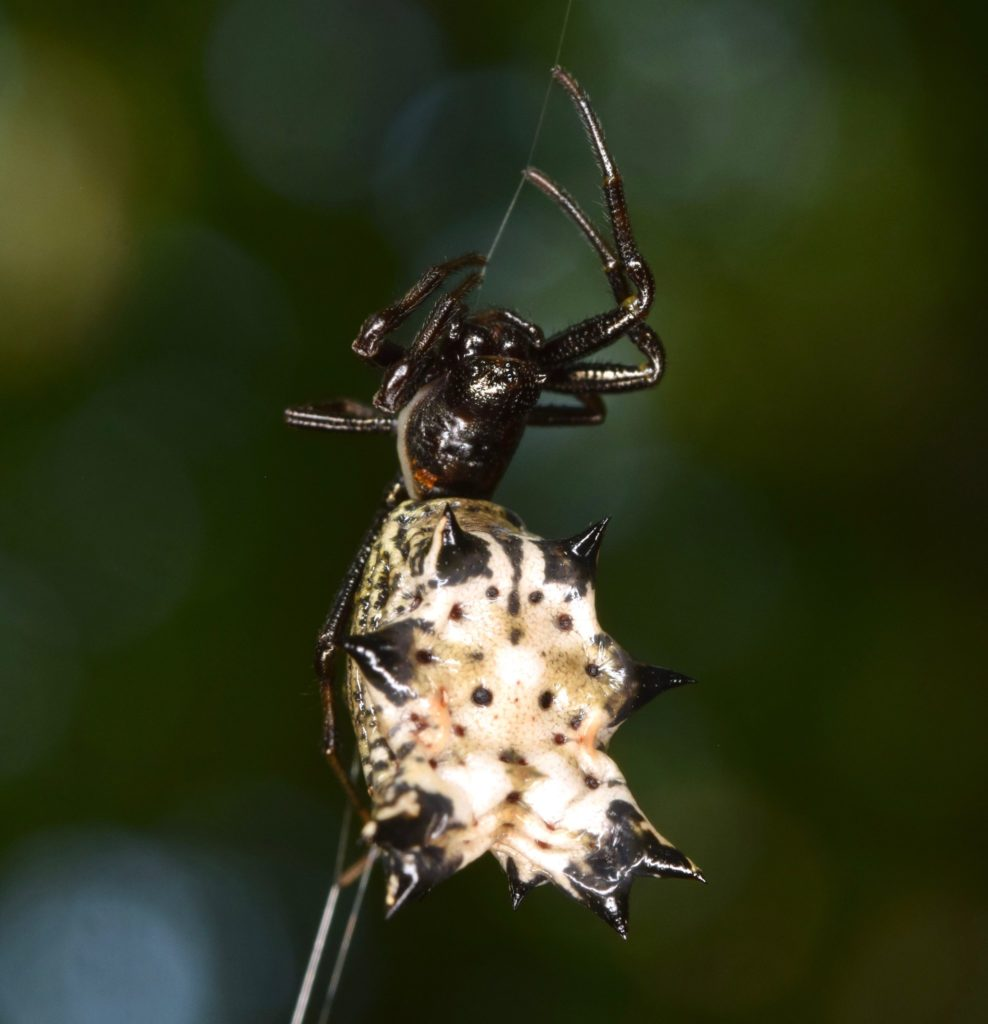 small spider black and white with large abdomen in virginia is a Micrathena gracilis – Spined Micrathena