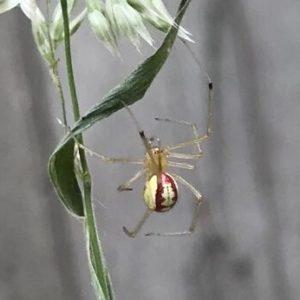 Candy-striped spider Enoplognatha ovata information
